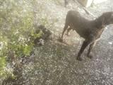 Собаки, щенки Немецкая жесткошерстная легавая, цена 1000 Грн., Фото
