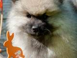 Собаки, щенки Вольфшпиц, цена 9000 Грн., Фото