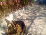Собаки, щенки Американский бульдог, цена 1500 Грн., Фото