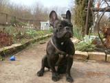 Собаки, щенята Французький бульдог, ціна 1 Грн., Фото