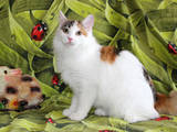 Кошки, котята Курильский бобтейл, цена 2000 Грн., Фото