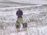 Собаки, щенки Аляскинский маламут, цена 4800 Грн., Фото