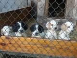 Собаки, щенки Русский спаниель, цена 700 Грн., Фото