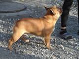Собаки, щенята Французький бульдог, ціна 100 Грн., Фото