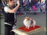 Собаки, щенята Померанський шпіц, ціна 70000 Грн., Фото