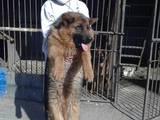 Собаки, щенята Німецька вівчарка, ціна 25000 Грн., Фото