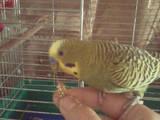 Папуги й птахи Папуги, ціна 120 Грн., Фото