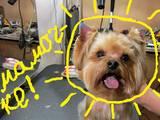 Собаки, щенки Йоркширский терьер, цена 140 Грн., Фото