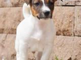 Собаки, щенята Джек Рассел тер'єр, ціна 10000 Грн., Фото