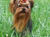 Собаки, щенята Йоркширський тер'єр, ціна 4900 Грн., Фото