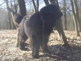 Собаки, щенята Ньюфаундленд, ціна 15000 Грн., Фото