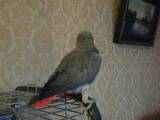 Папуги й птахи Папуги, ціна 17000 Грн., Фото