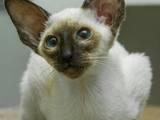 Кошки, котята Ориентальная, цена 5000 Грн., Фото