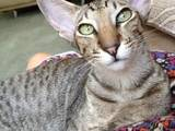 Кошки, котята Ориентальная, цена 300 Грн., Фото