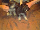 Собаки, щенята Німецька вівчарка, ціна 1200 Грн., Фото