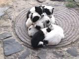 Собаки, щенята Російсько-Європейська лайка, ціна 700 Грн., Фото