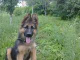 Собаки, щенки Немецкая овчарка, цена 500 Грн., Фото