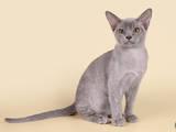 Кішки, кошенята Бурма, ціна 16000 Грн., Фото