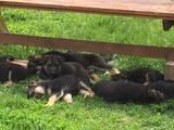 Собаки, щенята Німецька вівчарка, ціна 2000 Грн., Фото