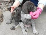 Собаки, щенята Німецька жорсткошерста лягава, ціна 5500 Грн., Фото