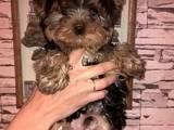 Собаки, щенки Йоркширский терьер, цена 7000 Грн., Фото