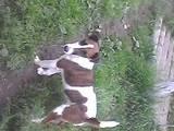 Собаки, щенки Гладкошерстный фокстерьер, цена 1300 Грн., Фото