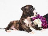 Собаки, щенята Американський стаффордширський тер'єр, ціна 10500 Грн., Фото