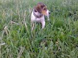 Собаки, щенята Баварський гончак, ціна 2500 Грн., Фото