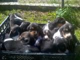 Собаки, щенки Эстонская гончая, цена 2500 Грн., Фото