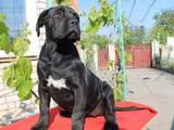 Собаки, щенята Кане Корсо, ціна 1000 Грн., Фото