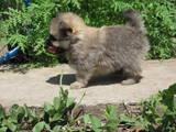 Собаки, щенки Померанский шпиц, цена 8000 Грн., Фото