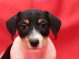 Собаки, щенята Джек Рассел тер'єр, ціна 6000 Грн., Фото