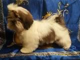 Собаки, щенки Ши-тцу, цена 3000 Грн., Фото