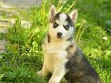 Собаки, щенята Сибірський хаськи, ціна 8000 Грн., Фото