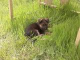 Собаки, щенки Немецкая овчарка, цена 7600 Грн., Фото