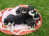 Собаки, щенки Сибирский хаски, цена 2900 Грн., Фото