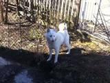 Собаки, щенки Русско-Европейская лайка, цена 3100 Грн., Фото