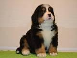 Собаки, щенята Гірський собака Берна, ціна 26000 Грн., Фото