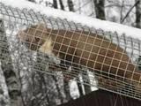 Животные Экзотические животные, цена 3500 Грн., Фото