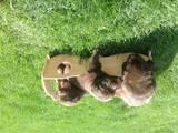 Собаки, щенята Лабрадор ретрівер, ціна 16000 Грн., Фото
