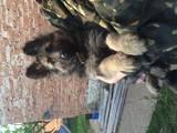 Собаки, щенки Немецкая овчарка, цена 2300 Грн., Фото