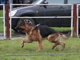 Собаки, щенята Німецька вівчарка, ціна 100 Грн., Фото
