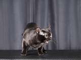 Кошки, котята Бомбейская, цена 25000 Грн., Фото
