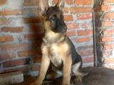 Собаки, щенки Немецкая овчарка, цена 2400 Грн., Фото