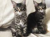 Кошки, котята Мэйн-кун, цена 5000 Грн., Фото