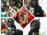 Собаки, щенки Йоркширский терьер, цена 4900 Грн., Фото