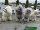 Собаки, щенята Карликовий пудель, ціна 5000 Грн., Фото