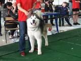 Собаки, щенята Аляска маламут, ціна 25000 Грн., Фото