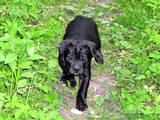 Собаки, щенята Кане Корсо, ціна 3555 Грн., Фото