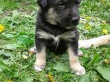 Собаки, щенята Бультер'єр, ціна 10 Грн., Фото